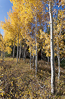 Aspens in Grand Teton National Park during autumn
