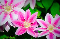 Bee's Jubilee Clematis flowers, Kentucky, USA.
