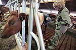 Foto: VidiPhoto<br /> <br /> DODEWAARD - Bij de eerste melkveehouders is de koeienkapsalon weer geopend. Melkveehouder Jan-Willem van Rooijen scheert woensdag samen met zijn hulp Corn&eacute; van Mourik de eerste koeien. Omdat de dieren vanaf zaterdag de hele winter op stal staan, moet hun warme jas uit. Bovendien is het korte kapsel een stuk hygi&euml;nischer dan een harig model. Mooi geschoren is niet lelijk. Terwijl de meeste boeren een koeienkapper inhuren, doet Van Rooijen het liever zelf. &quot;Het is leuk werk en bovendien bespaar ik hiermee zo'n 1000 euro.&quot; Van Rooijen heeft 140 melkoeien en het laten scheren kost ongeveer 7 euro per koe. Het scheren van de hele veestapel kost ongeveer vier werkdagen. Daarom doen Jan-Willem en Corn&eacute; dat tussen de boerenbedrijven door. Foto: Boerin Gerdi van Rooijen kijkt toe.