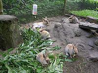 Zwergkaninchen, Zwerg-Kaninchen, Familie in ihrer Außenvoliere, Gehege, artgerechte Tierhaltung, fressen frisches Grünzeug, Löwenzahn, Weidenzweige, dwarf rabbit