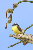 530080003 a wild adult boat-billed flycatcher megarynchus pitangua perches on a dead tree limb on a private ranch in tamaulipas state in mexico