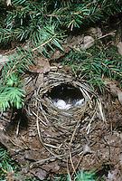 Fitis, Fitislaubsänger, Fitis-Laubsänger, Ei, Eier, Gelege im Nest, Bodennest, Phylloscopus trochilus, willow warbler
