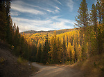 Golden tamaracks along Myrtle Creek Rd in north Idaho