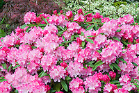Vividly colored Pink rhododendrons in bloom, Japanese maple Acer palmatum, dogwood Cornus variegated in garden landscape