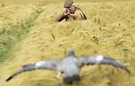 Foto: VidiPhoto<br /> <br /> BENTHUIZEN &ndash; Jagers van de wildbeheereenheid Rijnland Zuid zijn woensdag gestart met de bestrijding van gewasschade door houtduiven en eenden bij akkerbouwers Theo en Chiel van Eeden Petersman in Benthuizen. Doordat de wintergerst nu al begint te rijpen, drie weken eerder dan normaal, duiken de duiven massaal op de rijpende korrels. Om schade te voorkomen moeten de jagers eerder aan het werk dan gebruikelijk. In de nieuwe Natuurwet, die drie oude wetten vervangt, moet de provincie in de toekomst toestemming geven voor de jacht op kleinwild, zo is woensdag bekend geworden. De Tweede Kamer moet daarover nog een besluit nemen. De Partij voor de Dieren is verontwaardigd dat het jagen op konijnen, hazen, wilde eenden, houtduiven en fazanten toegestaan blijft. Ook Natuurmonumenten wil preventieve maatregelen in plaats van jacht. De Koninklijke Nederlandse Jagersvereniging is tevreden dat de 'wildlijst' blijft bestaan. &bdquo;De werkwijze van jagers hoeft niet te veranderen. Ze jagen al duurzaam.&rdquo;