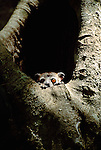 The white-footed sportive lemur lives in the few remaining gallery forests and dry forests of southern Madagascar.
