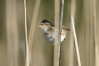 Marsh Wren (Cistothorus palustris) calling from the reeds, Marshlands Conservancy, Rye, New York