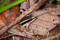 Rainforest Rocket Frog (Silverstoneia flotator), Solarte Island, Panama