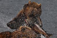 Brown Bears Fish over Samlon while fishing at Kurilskoe Lake Preserve.