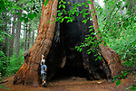 Man hiking in South Grove of Calaveras Big Trees State Park