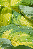 Hosta Great Expectations closeup of dew drops, raindrops, water on plant leaves