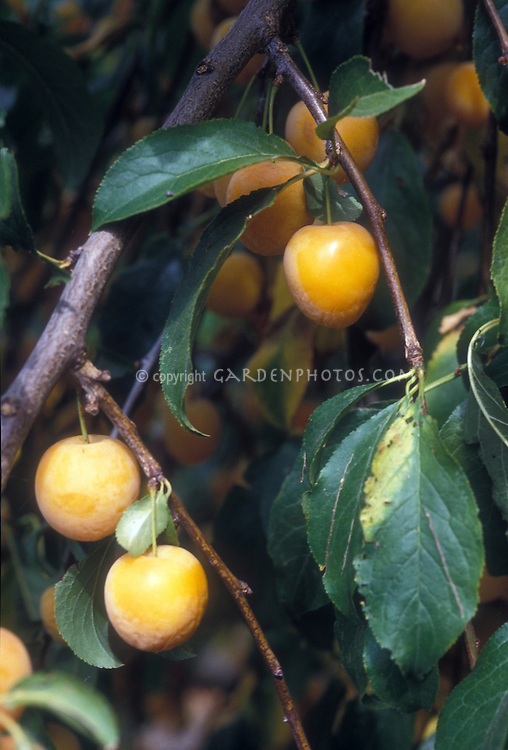 Apricots Prunus armeniacum growing on tree