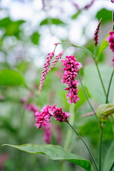 Persicaria orientalis