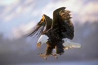 Bald Eagle (Haliaeetus leucocephalus) about to land.  Alaska.  March.