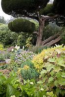 Monterey Cypress (Cupressus macrocarpa)  in cottage garden. Sally Robertson Garden.