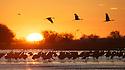 North America, United States, Nebraska, Wood River, Platte River. Sandhill Cranes in flight