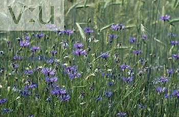 Cornflower or Bachelor's Button (Centaurea cyanus), Germany.