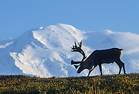 Bull Caribou On A Tundra Ridge Silhouetted Against Mt. Denali, Denali National Park, Alaska