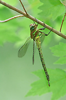 339650001 a wild female swamp darner dragonfly epiaschna heros hangs vertically in typical darner fashion from a small limb in the angelina forest in jasper county texas