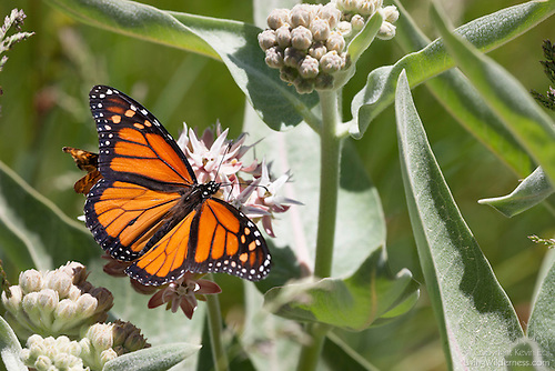 Monarch on Milkweed, Yosemite National Park, California