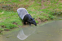 Malayan Tapir (Tapirus indicus) adult entering water.