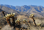 cholla cactus and the San Jacinto Mountains