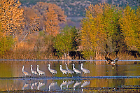 521046001 a wild flock of sandhill cranes grus canadensis is spooked by a juvenile bald eagle haiaeetus leucocephalus landing nearby in a shallow pond in bosque del apache national wildlife refuge in new mexico