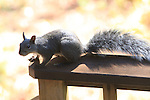Western gray squirrel.  FB-S172.<br /> Back faded photo.  4x6 PC
