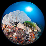 Misool, Raja Ampat, Indonesia; Fiabacet area, a Hawksbill turtle (Eretmochelys imbricata) swimming in front of a sea fan with the sun overhead