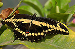 Giant Swallowtail, Papilio cresphontes, Southern California