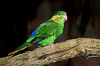Female Red-flanked Lorikeet (Charmosyna placentis) on a branch. Captivity