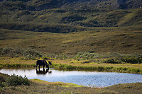Bull moose feeds on summer grasses in a small tundra pond, Denali National Park, interior, Alaska.
