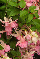 Fuchsia 'Rose of Denmark'