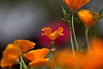 California Poppy, Eschscholzia californica, at Rose Emporium Gardens near Indpendence, Texas.