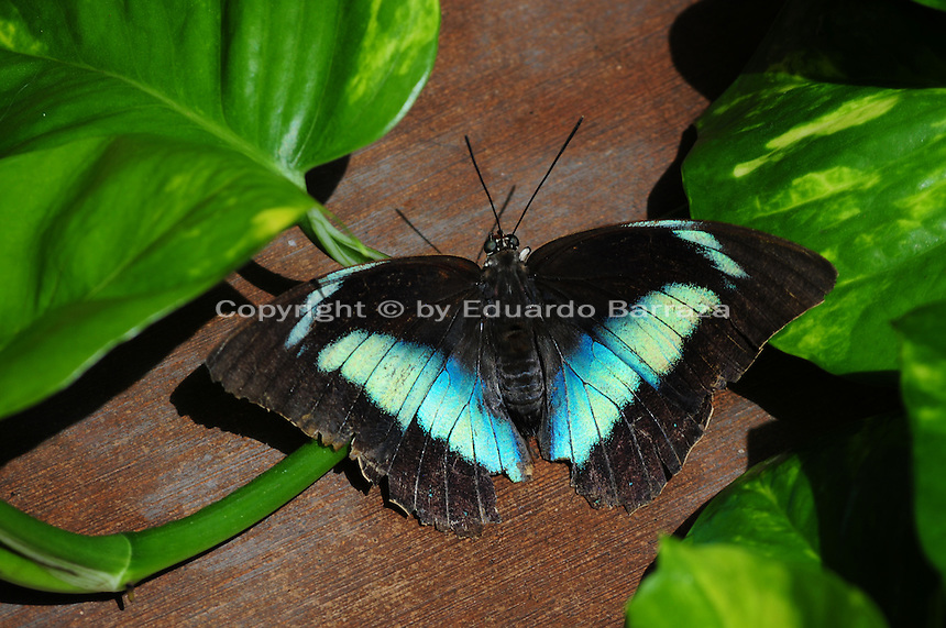 Scottsdale, Arizona. A Banded King Butterfly Necklace butterfly on a wooden surface next to the green leaves of a plant at the sanctuary. The United States Fish and Wildlife Service is contributing $20 million to help save the disappearing Monarch butterflies. The insect may be on its way to the endangered species list. In Arizona a sanctuary takes care of thousands of butterflies. Photo by Eduardo Barraza © 2015
