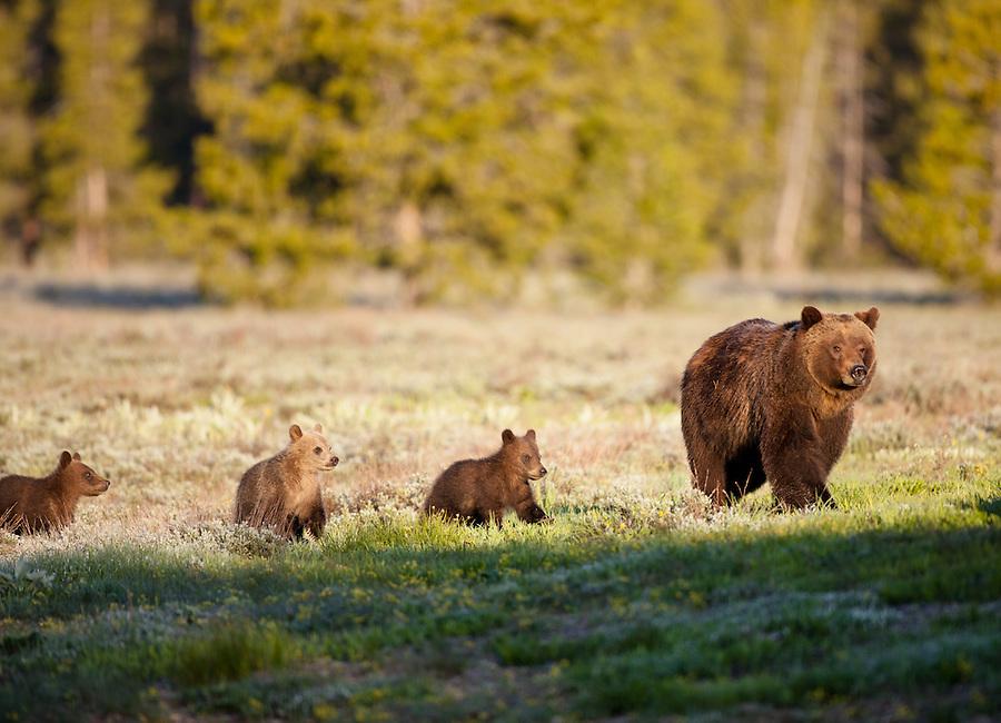 Grizzly-Bear-Cubs-7.jpg