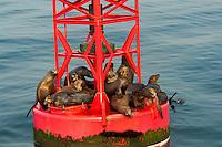 677880001 a group of wild harbor seals phoca vitulina sunbathe on a harbor bouy in ventura harbor ventura county california