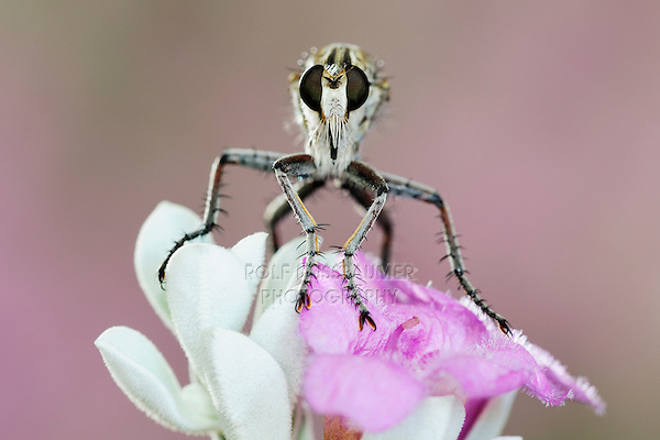 Robber Fly (Asilidae), adult perched on Texas Sage (Leucophyllum frutescens), Dinero, Lake Corpus Christi, South Texas, USA
