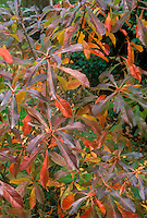 Franklinia alatamaha in autumn color