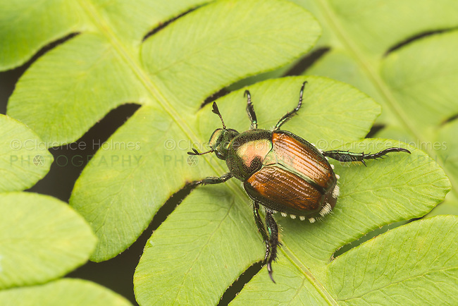 A Japanese Beetle (Popillia japonica) perches on a fern leaf.