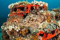 Couple of scorpionfish (Scorpaena porcus) lying on the artificial reef, Larvotto Marine Reserve, Monaco, Mediterranean Sea<br /> Mission: Larvotto marine Reserve