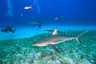 Caribbean Reef Sharks, Carcharhinus perezi, and scuba divers over seagrass bed, West End, Grand Bahamas, Atlantic Ocean