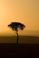 A lone acacia tree at sunset in the Maasia Mara. Originally established in 1948 as a Wildlife Sanctuary, the Maasai Mara National Reserve covers 1,510 square kilometers (583 sq mi) in south west Kenya and is the northern-most section of the Mara-Serengeti ecosystem.
