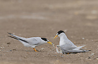 Least Tern (Sterna antillarum), adult feeding first fish to newly hatched young, Port Isabel, Laguna Madre, South Padre Island, Texas, USA