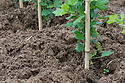 A mulch of well-rotted farmyard manure around the base of newly planted gooseberry cordons, early May.