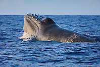 Humpback Whale in competitive group, lunging at other competing whales, inflated head lunge, Megaptera novaeangliae, Hawaii, Pacific Ocean.