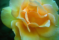 Flowers,  Close up,  Love, bloom, blooming, blooms, blossom, colorful, flora, flower, flowering, flowers, nature, Garden, USA