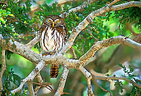 56399013 wild ferruginous pygmy owl glacidium brasillianum stares down from a perch in a high tree in tamaulipas state in mexico