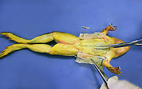 FROG DISSECTION<br /> (3 of 4)<br /> An incision is made on the ventral side<br /> An incision is made longitudinally with the scissors to expose the thoracic cavity. The frog is a preserved, dye-injected specimen.