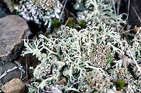 LICHEN<br /> Fruiticose Lichen<br /> Shrub-like, pendulous strands or hollow stalks called podetia, usually attached to the substrate at the base or holdfast
